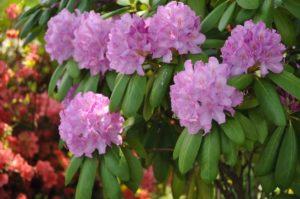 Beautiful pink wildflowers in Gatlinburg.